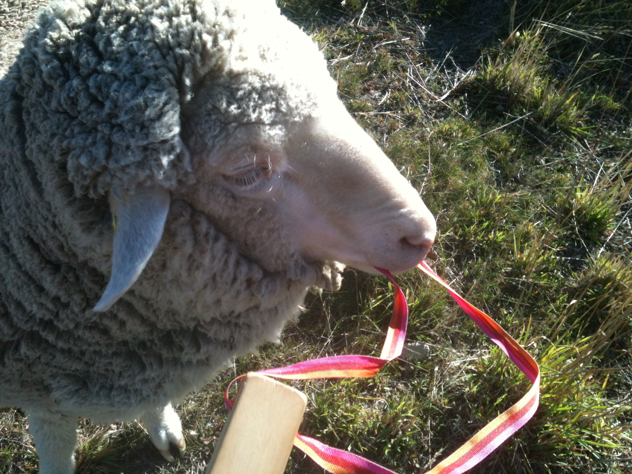 """My pet Vicky has always loved to chew on my pack straps and my clothing. Here she's having a go at the strap of my """"bugle"""": a wooden horn that sounds like a distant freight train. I'm training the sheep to come to the sound of it when there is fresh forage at the other side of the gate where I'm standing."""