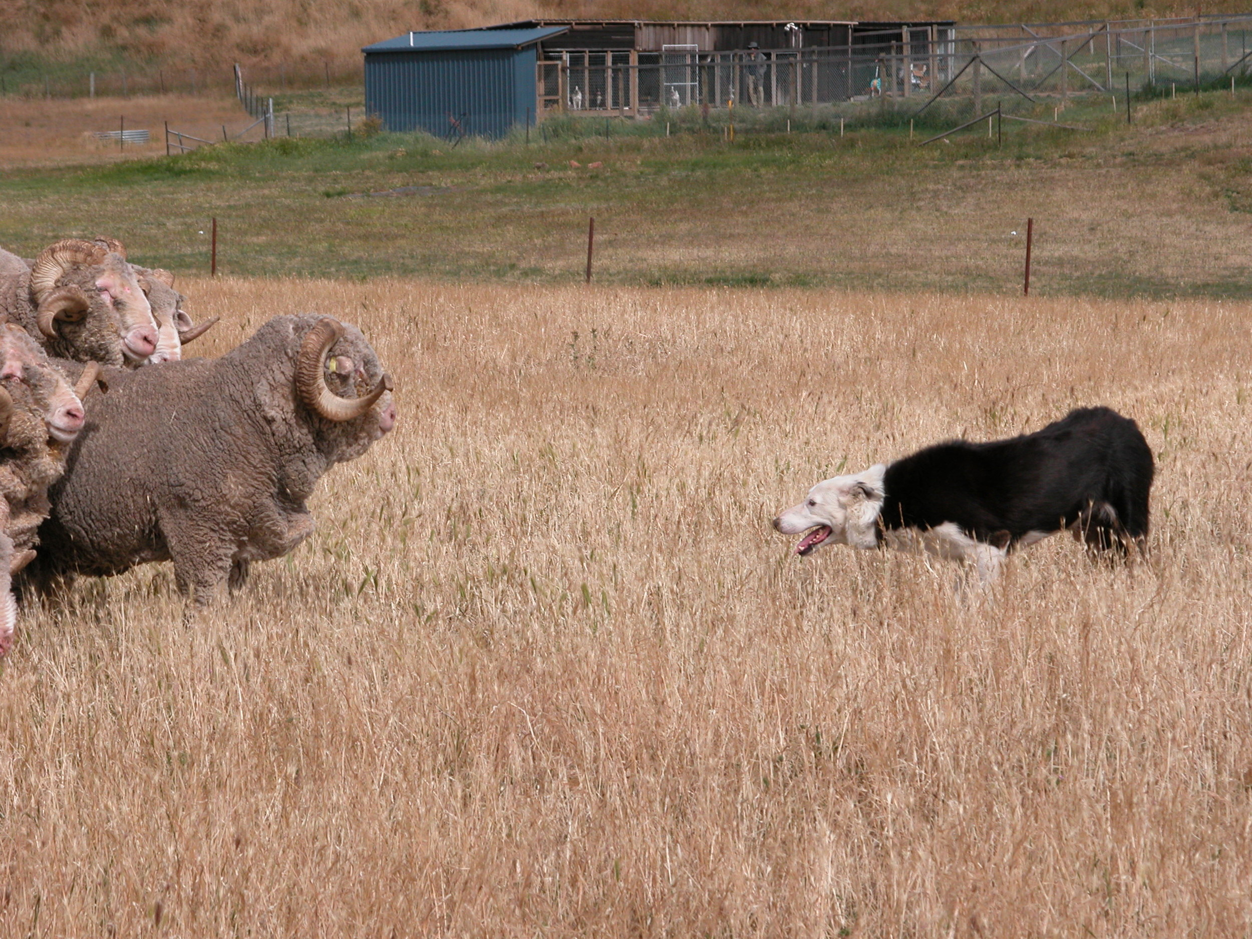 My all-time favourite photo of Pearl the elder, facing down the rams. January 2004. Kennels in the background.