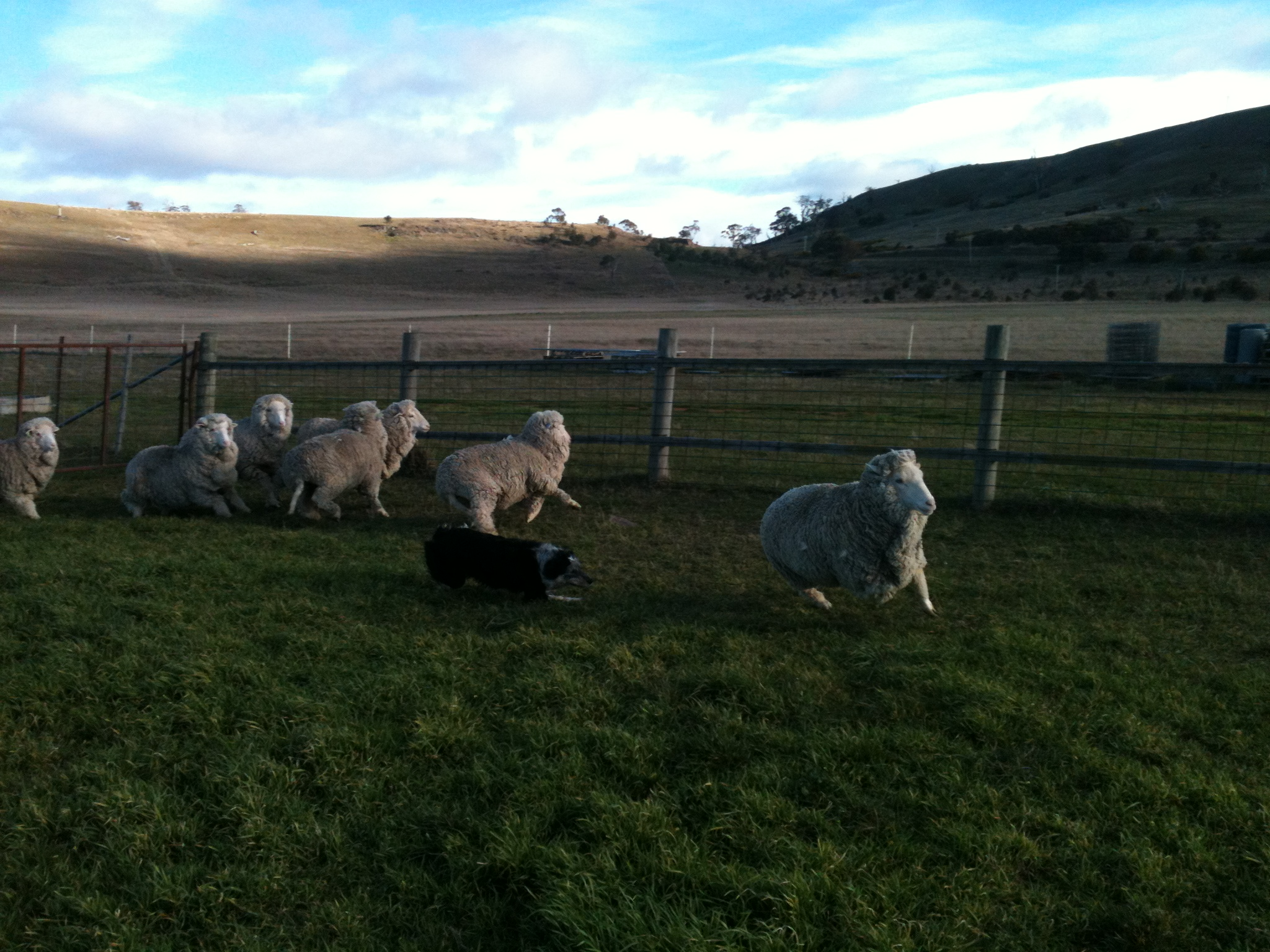 Pearl in early training. As you can see, working the dogs on a small group of sheep in a constrained area gets everybody wired, including the trainer.