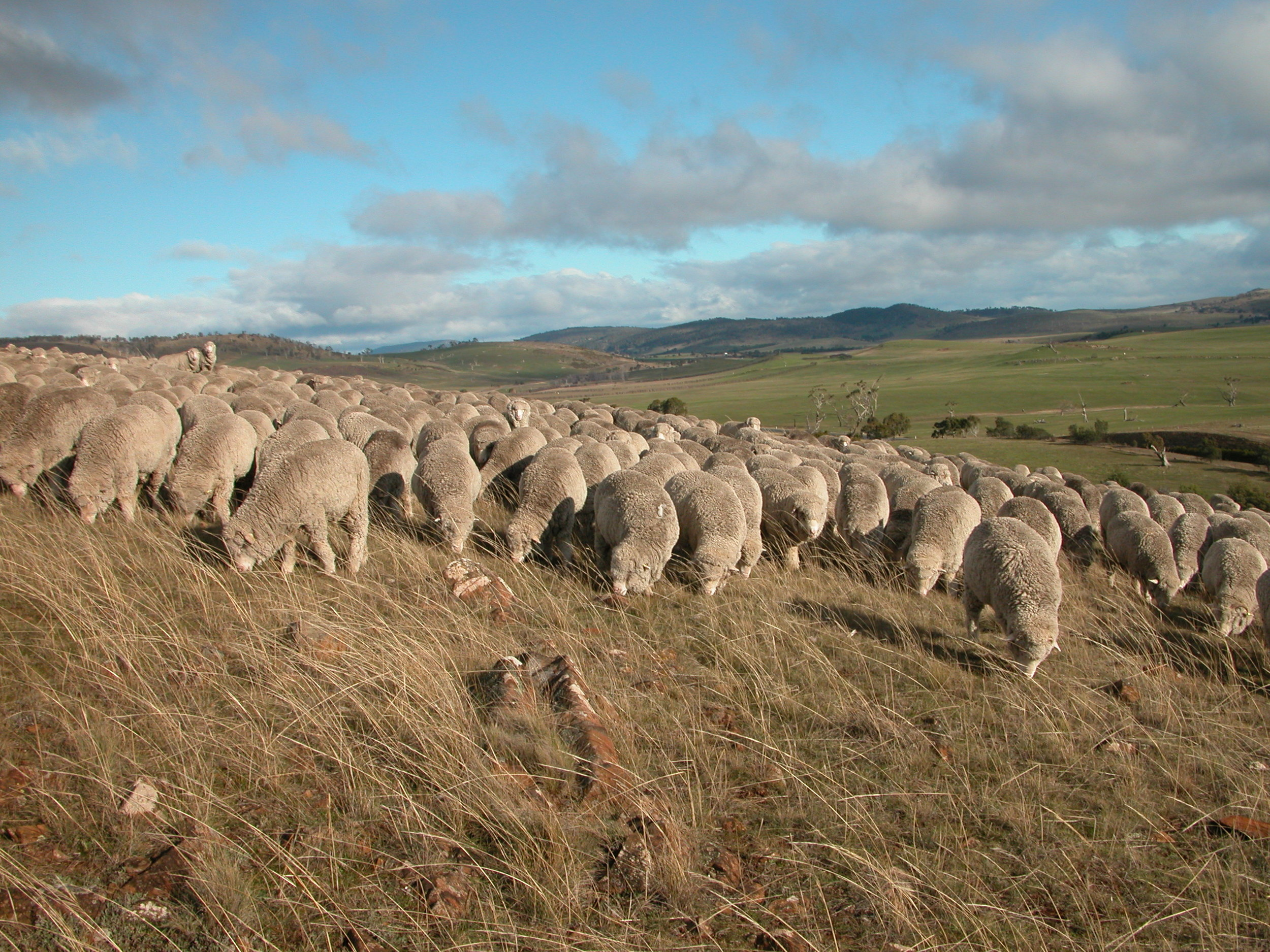 Grazing across a hillside of predominantly native grasses, coarse and fairly dry, but still popular.
