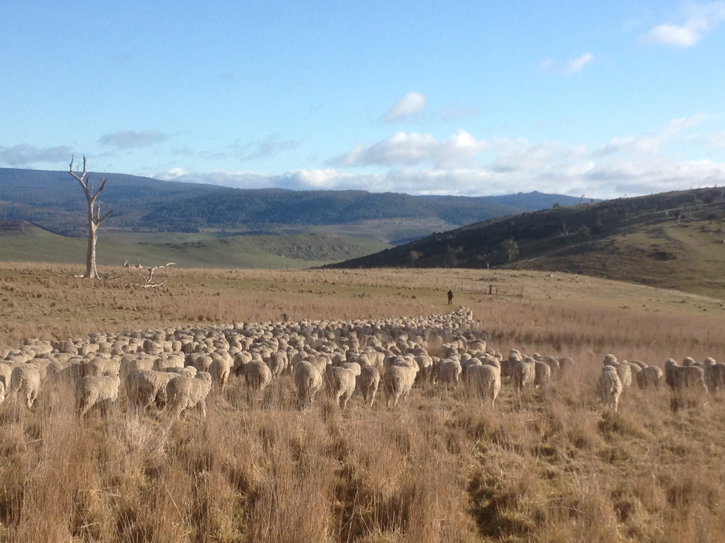 Leading the flock out of the overnight paddock on a frosty morning (photo courtesy of Lyn Heenan)