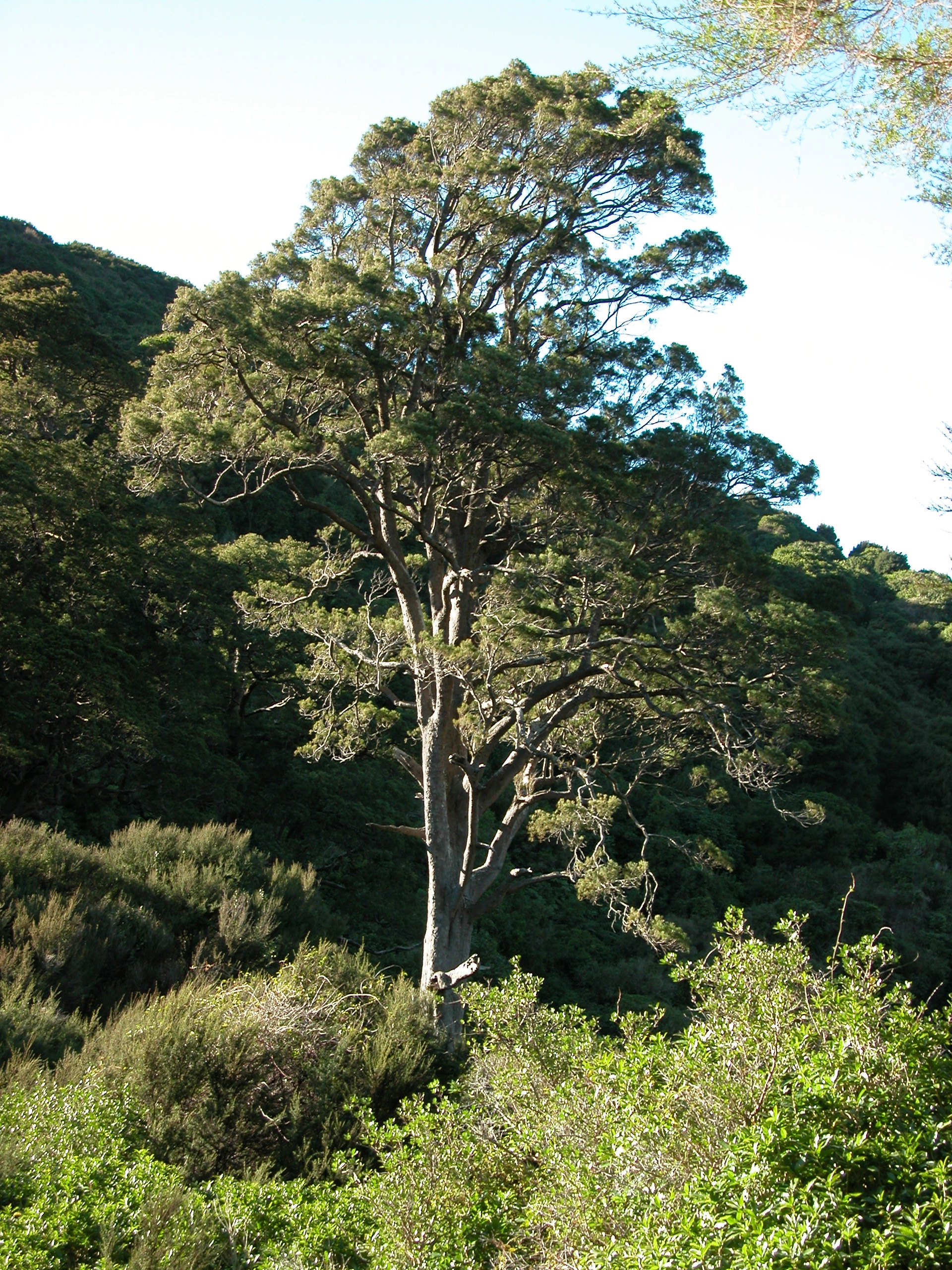 An old-growth Kahikatea (white pine) in the valley of Hinewai