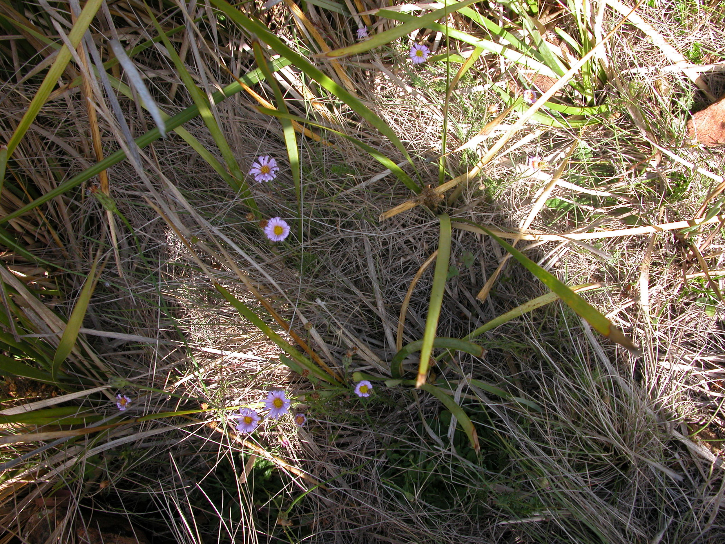 pring wildflowers–endangered cut-leaf daisies–finally appearing after the autumn rains. A lovely example of ecosystem resilience. These plants have adapted to Australia's wildly variable seasonal weather patterns, and take advantage of any set of conditions that will let them reproduce.