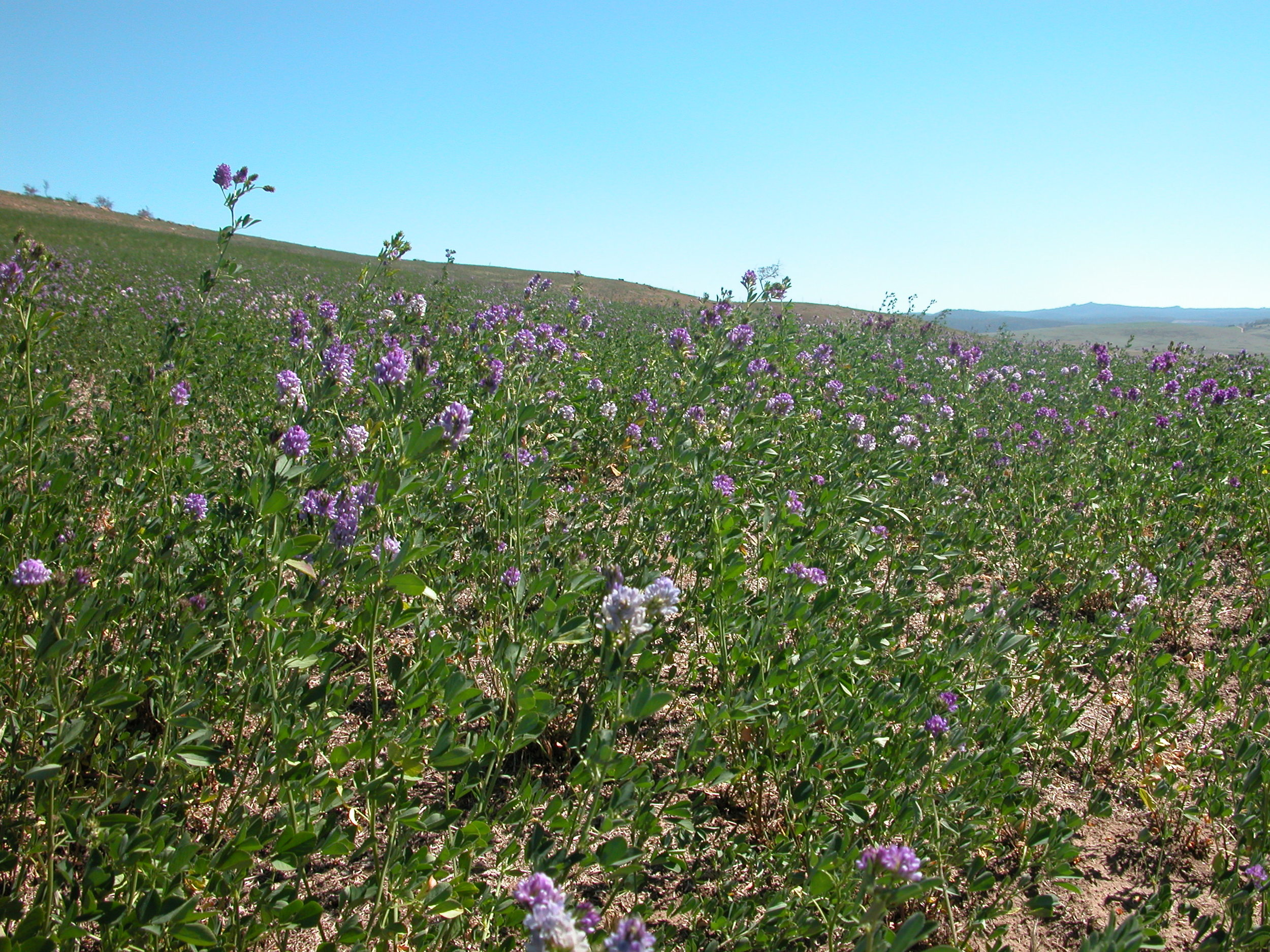 The lucerne (alfalfa) growing like Jack's beanstalk in the burn area.
