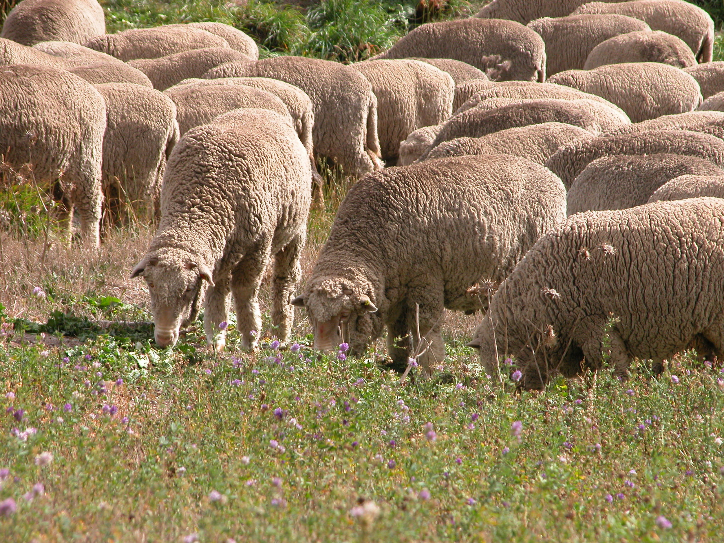 P8: Having pretty much had their fill of lucerne by now, these enterprising sheep are actually eating thistle rosettes in the gully.