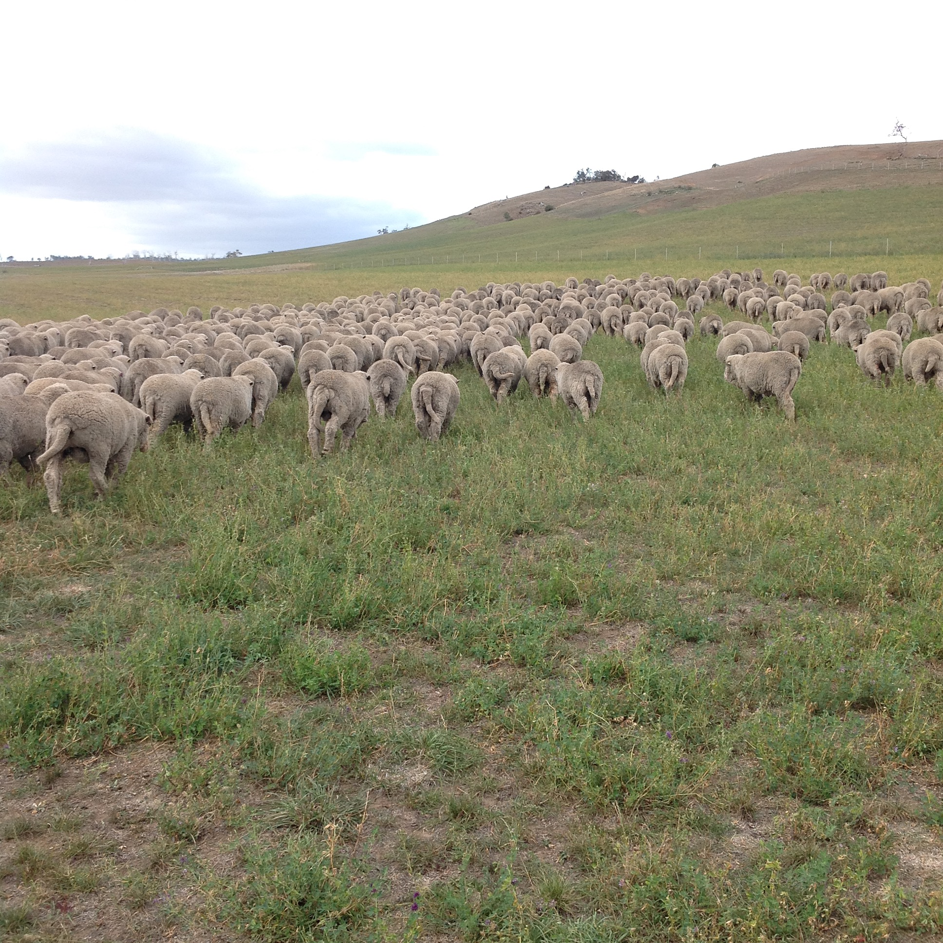 P2: Into the lucerne. Heads down and grazing immediately.