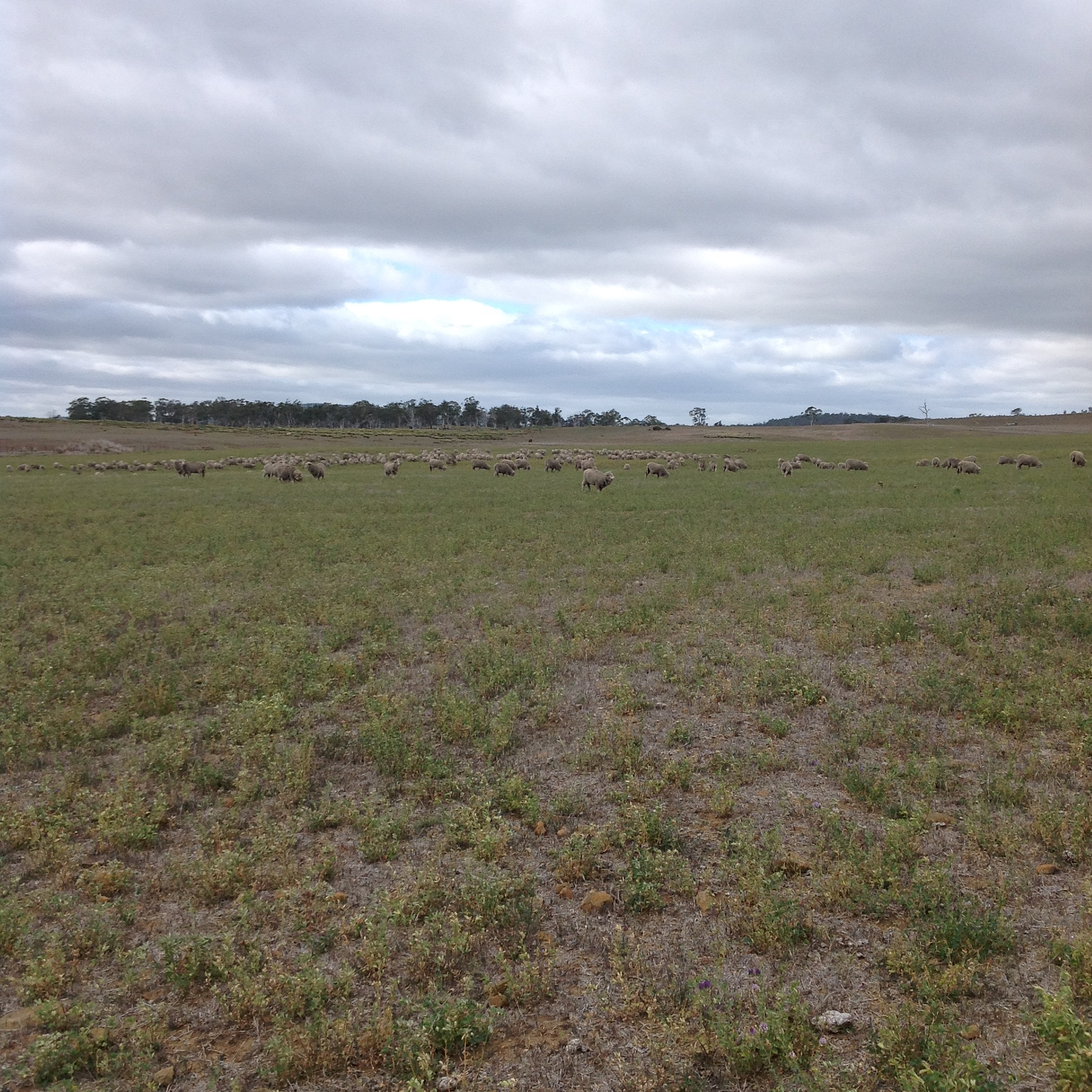 P4: Free graze to the southern boundary fence of this paddock. Stragglers keep returning for a drink at the troughs near me, even though they had access just ½ hour ago in the pickup paddock! Kinda like kids.