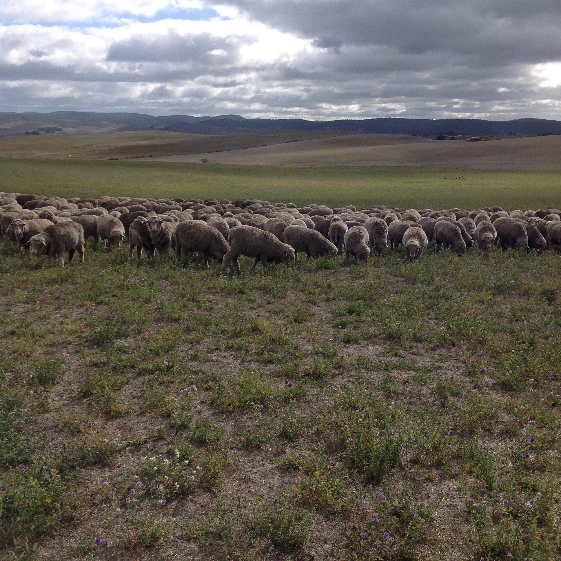 P6: Turning back north. They've been happily grazing into the southerly breeze, but it's time to start heading back.