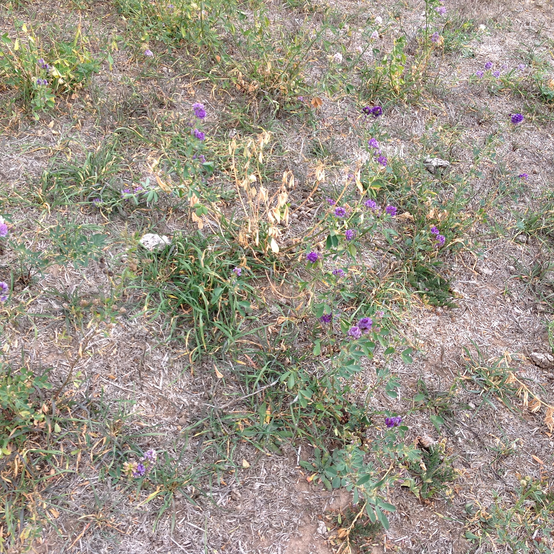 P7: The lucerne has a moderate case of bugs, most likely aphids and/or red-legged mites--the wages of a monoculture crop!--and exacerbated by the extended dry of March and April. My approach is to get the sheep to eat it before the bugs do!