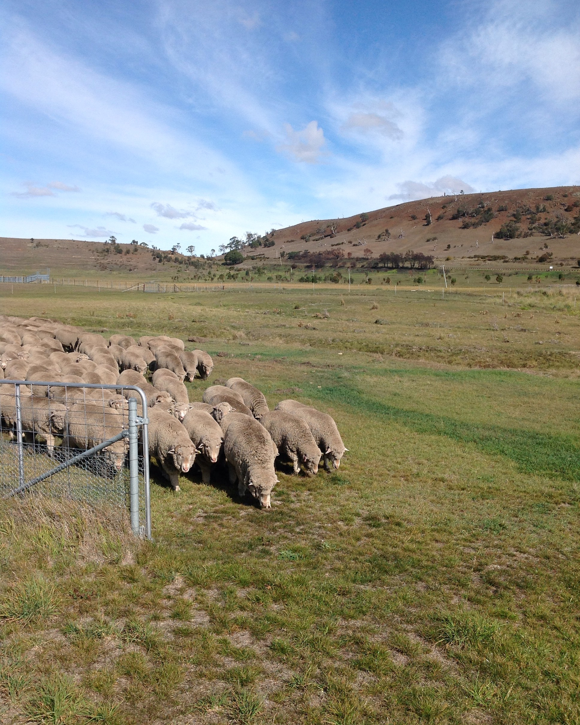 ...ta-da! Sheep bending to me into the last gate. Water and rest await them at the top of the hill behind me.