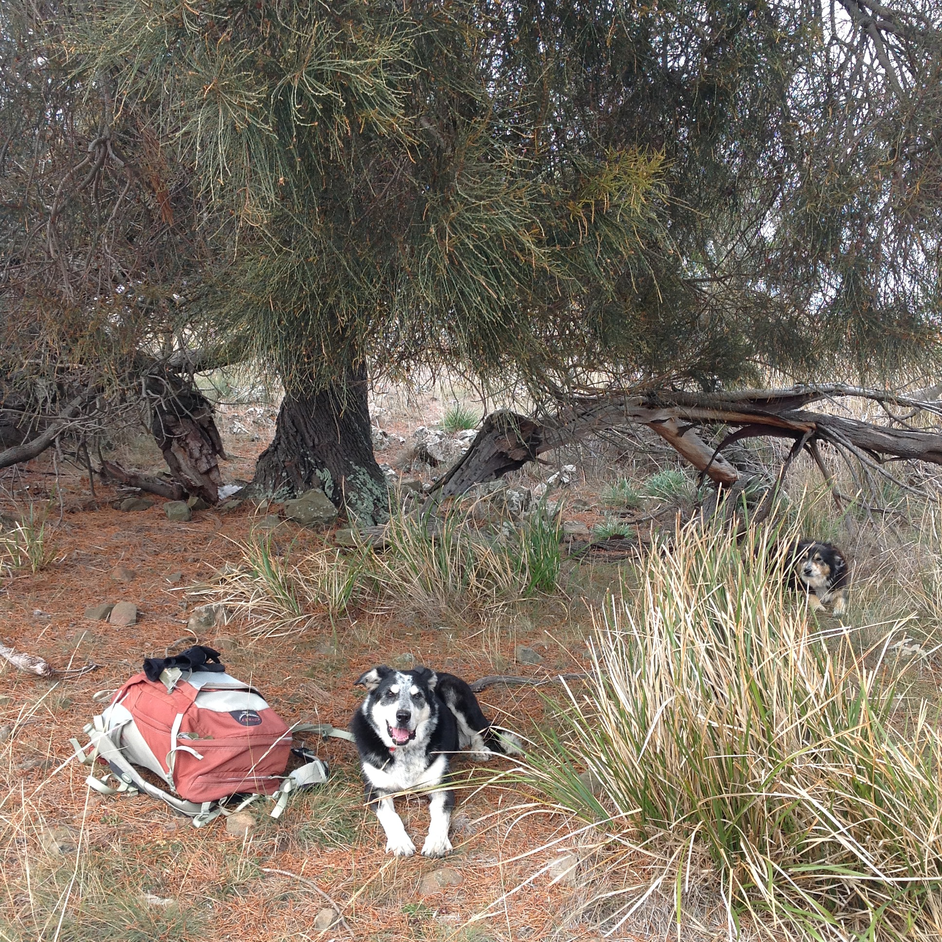 P10: My favourite rest spot, under a gnarled she-oak (casuarina). I'll try to hunker down out of the wind. I did put in an extra jacket this morning, but didn't imagine I'd want it!