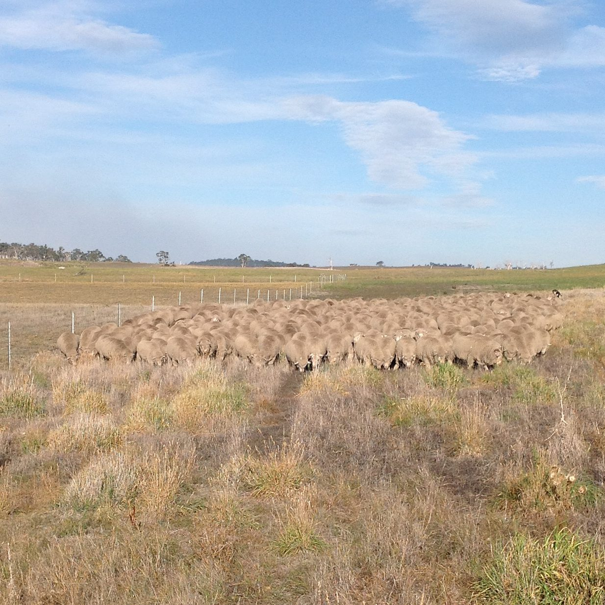 P9: They are well and truly over lucerne for the day and this is the only stretch of grass plus weeds on the way back, so I'm letting them enjoy it.