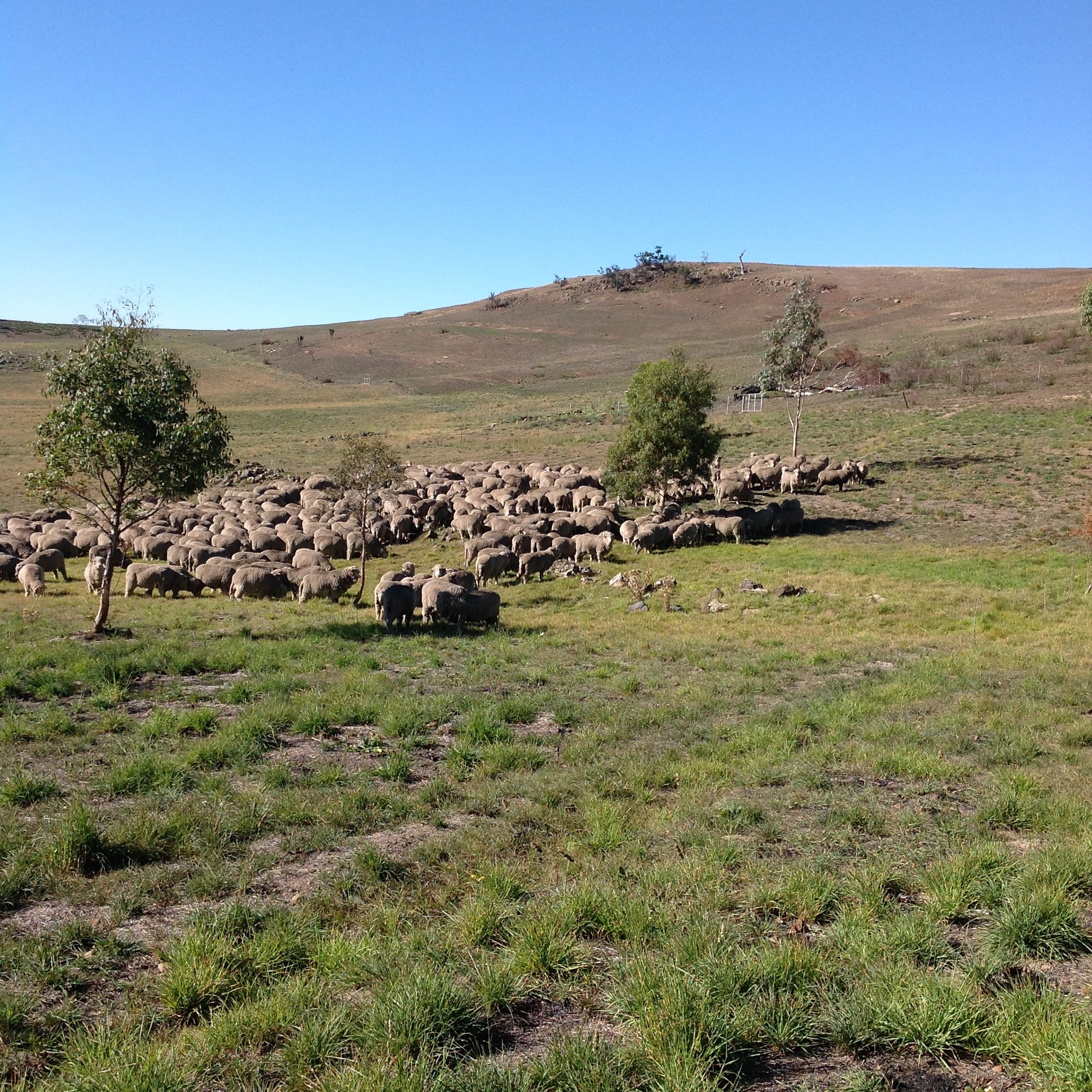 P8 : Try-overs. We're at the southern end of the revegetation area, and they've had a lovely graze while I was mud-wrestling their friend. Now they're resting and ruminating, and I'm going to have a cuppa.