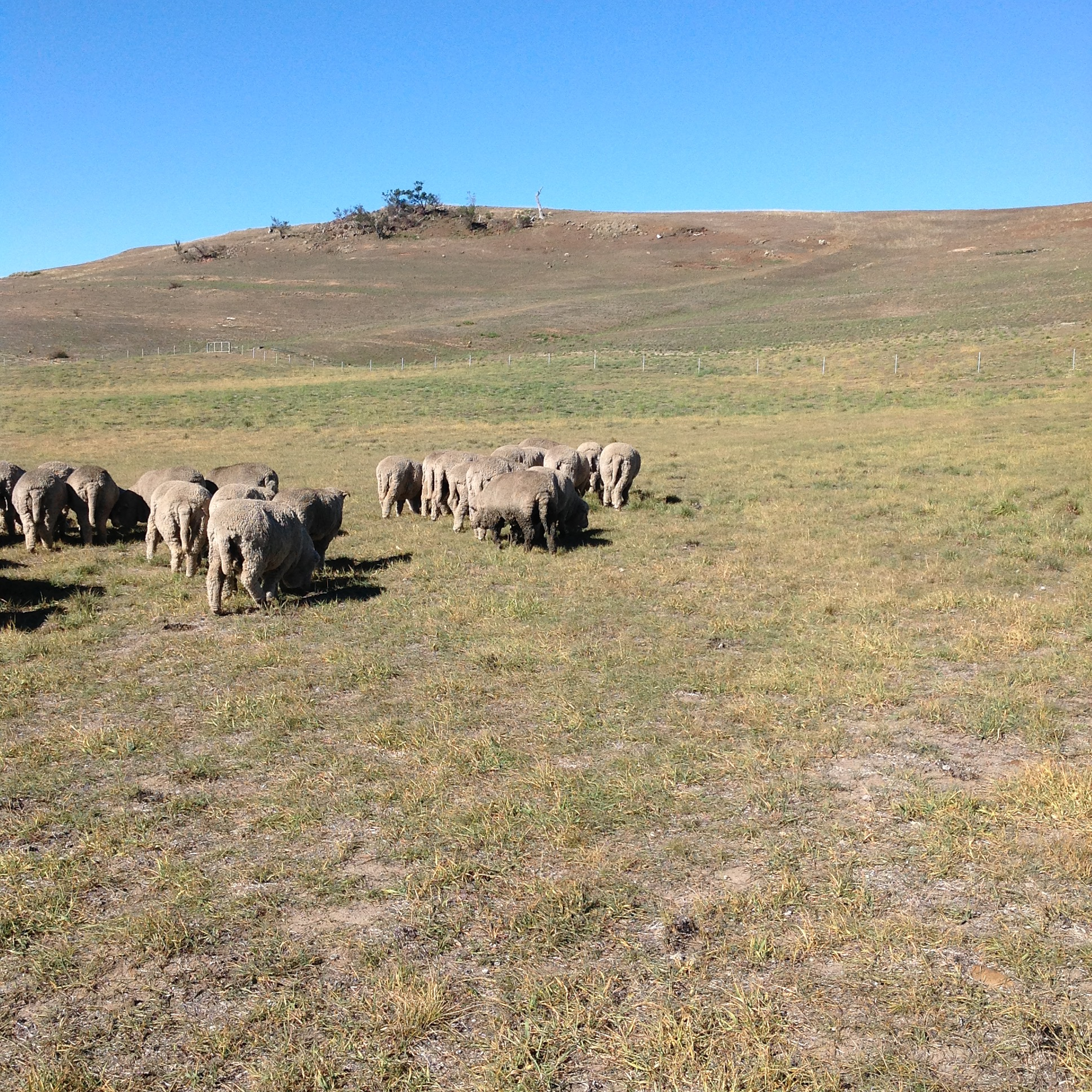 P11: There's the muddy fellow. So, all present if not entirely correct, as they say in the military. The far gate of this paddock is open to the White Gum Grazing Area, so my work here is done for the day. We'll be back Monday for a circuit in a whole new area. Stay tuned.