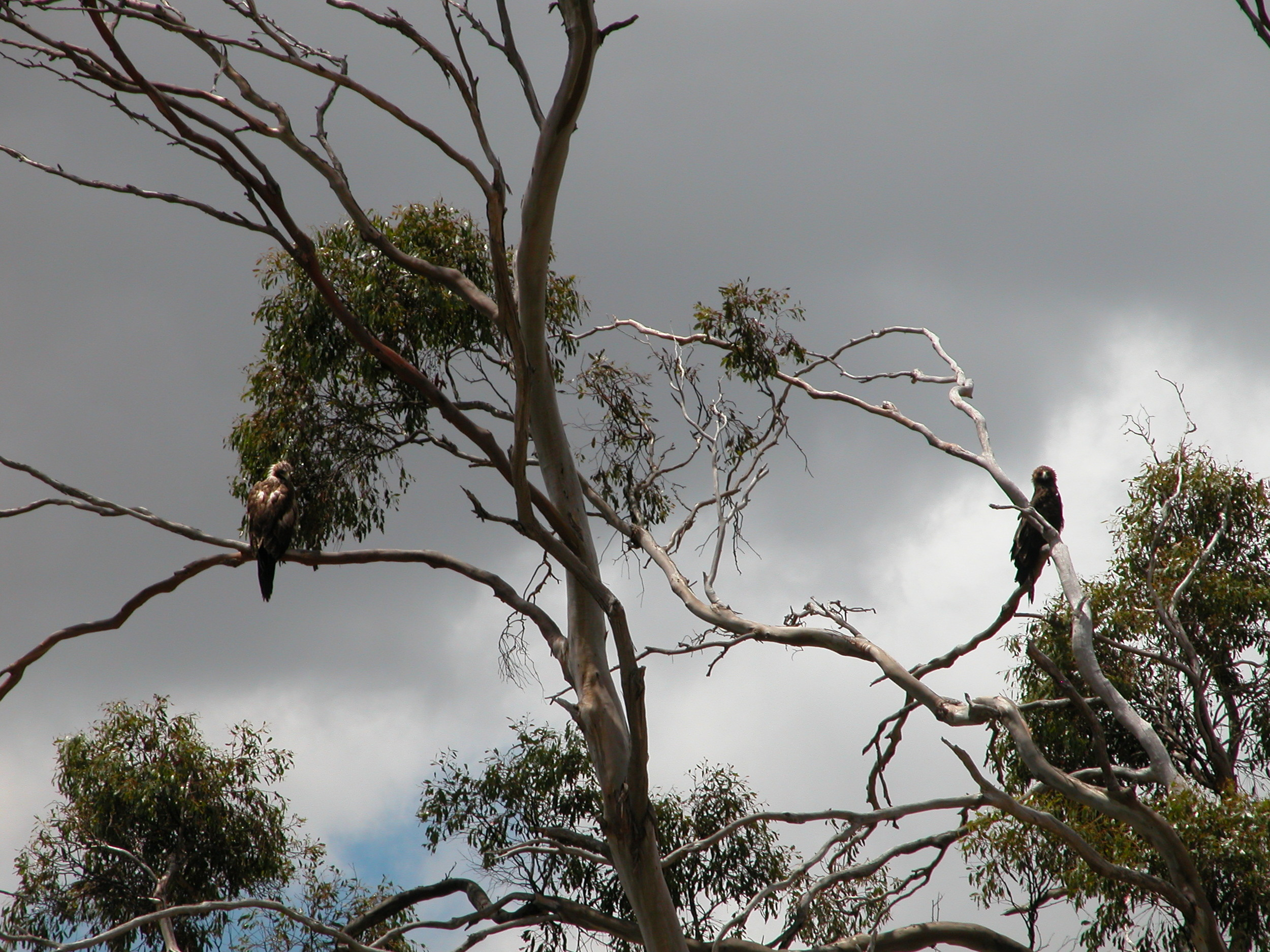 On the same day, about the same time, these two wedge-tailed eagles watched us for nearly an hour, just overhead.