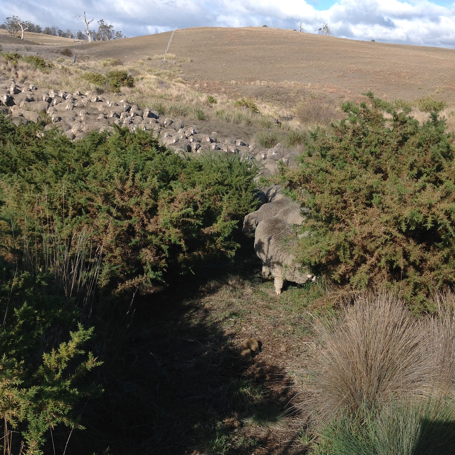 P6: The one very narrow track through the gorse at the bottom of the gully. They followed me through!