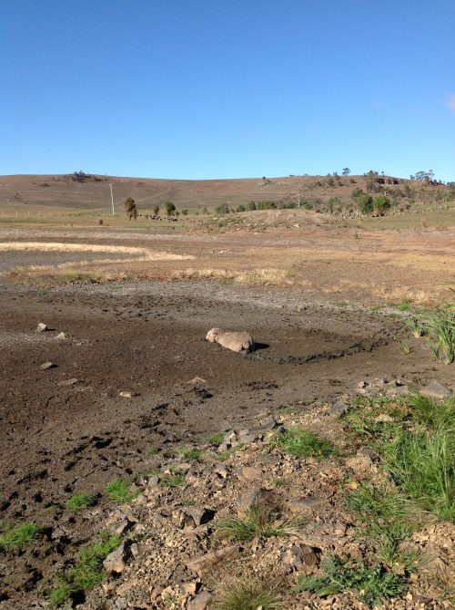 The sheep bogged in Swan Lake, late April.
