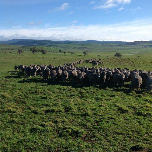 P1: Pickup. Definitely wet sheep!