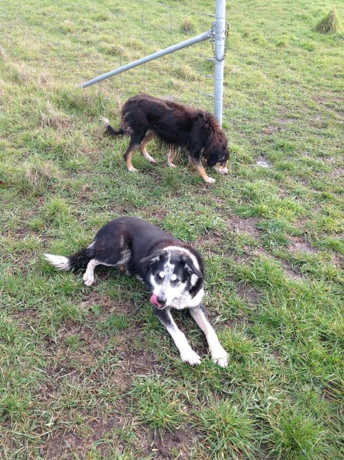 P2: Two very tired working dogs, resting on their laurels.
