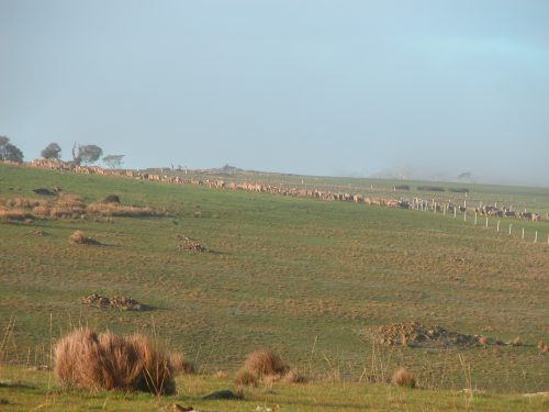 P1: The flock heading into Waterfall Gully via the top gate