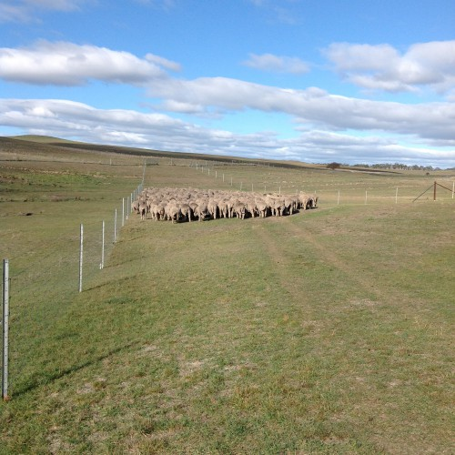 P9: Done shepherding for the day--flock heading into fresh forage in the Racecourse Grazing Area