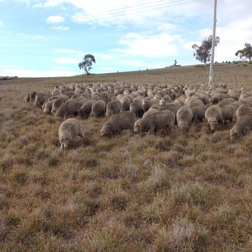 """P2: Grazing the """"bottom"""" of the paddock. Not great, but much better than the short stuff higher up."""