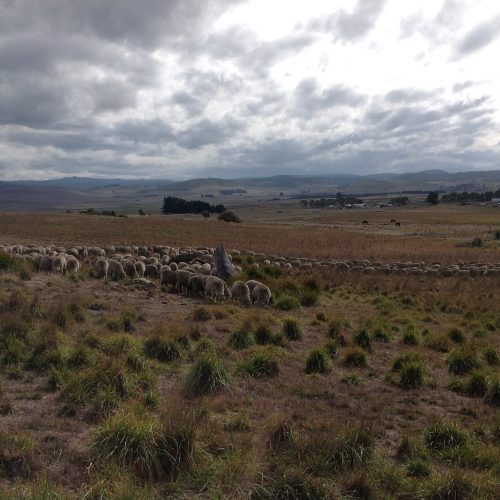 """Still grazing well in the rank patch. Hooray! My shepherding mentor, Michel Meuret says, """"Shepherding is NOT the same as gardening"""" , meaning you can't expect the animals to eat only the specific plants you want to """"weed"""", but also acknowledging that the tighter you constrain the flock in their grazing, the less likely they are to settle and graze. Still, on days like today, it sure feels high precision, landing 500 sheep exactly where you want them, and having them agree to eat there!"""