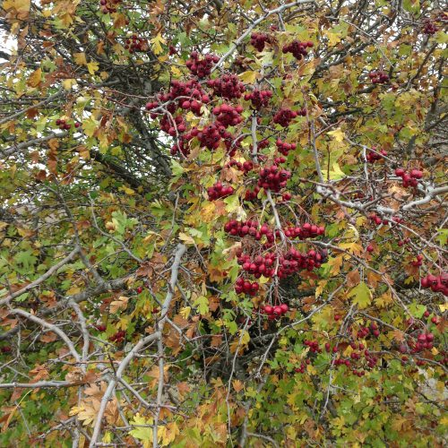 P6: Hawthorn berries, the inspiration for WGW yarn of the same colour.