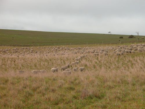 P2: Grazing toward the end of the dense patch in the Grass Gully