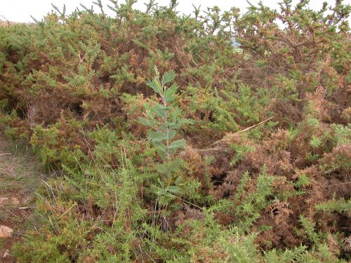 A baby wattle, with gorse making a safe home for it.