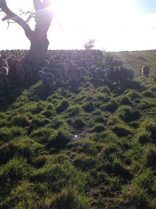 They were really enjoying this longer, fresh grass until I chivvied them on up toward the gate.