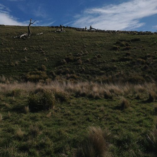 P7: Heading across the hill at the top of Waterfall Gully. The gate up there is open back into the Basin Grazing Area, so we'll leave them to it and go home for lunch via the lucerne.