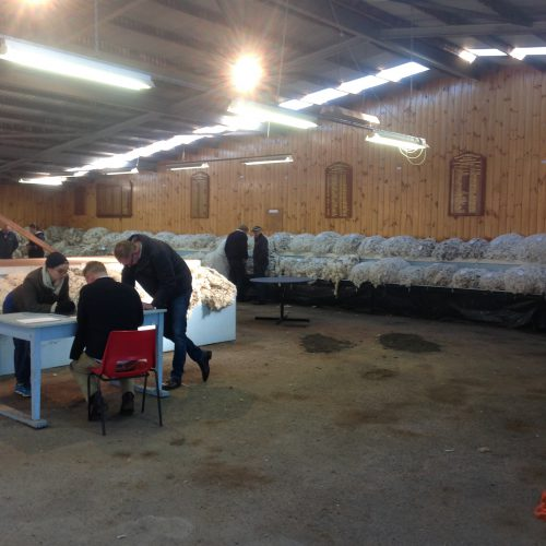 Fleeces being judged at the Campbell Town Show