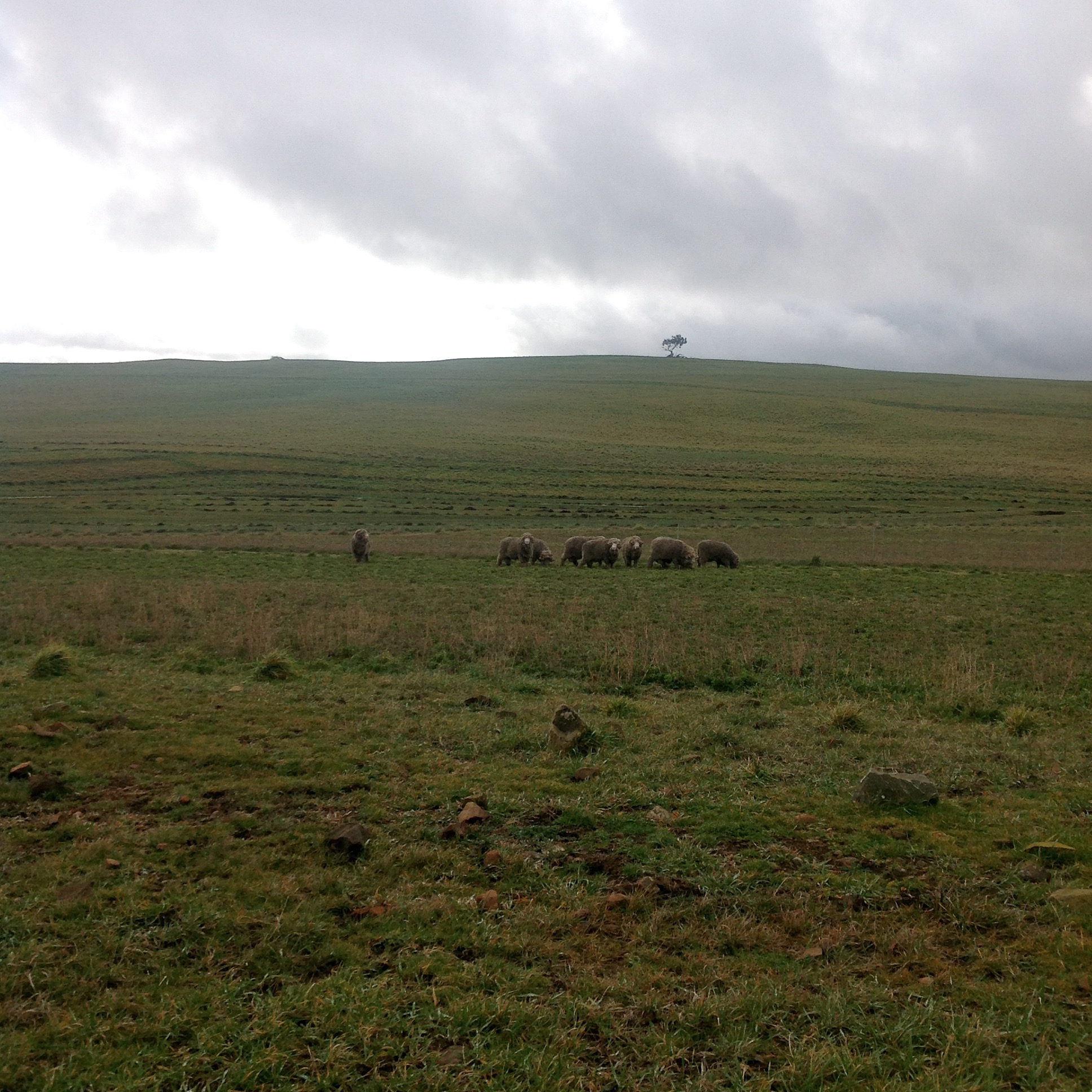 P1: Moving the sheep today. First the rams into the Lucerne Reserve, off the Racecourse GA. They are loving it!