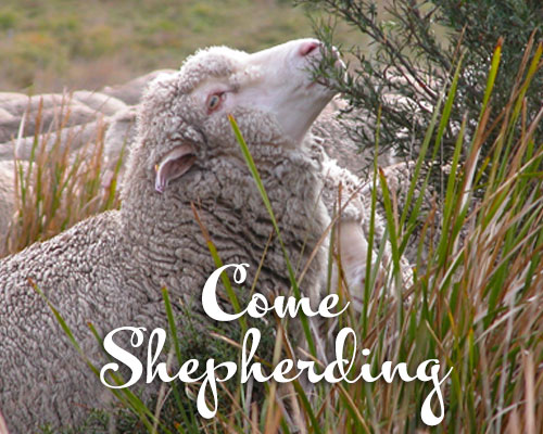 A journal designed to give readers a more personal experience of shepherding, White Gum Wool style.   Read the latest post →