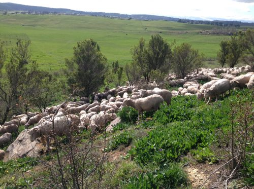 """The sheep trying out Patterson's Curse, a broadleaf weed prevalent on the mainland. This photo was taken on the first foray into this area,two days before the """"Sheep Crocodiles""""video that follows. I brought them across the paddock in the background and into the Patterson's Curse patch without the dogs, though it's true they knew where we were heading, and wanted to go there."""