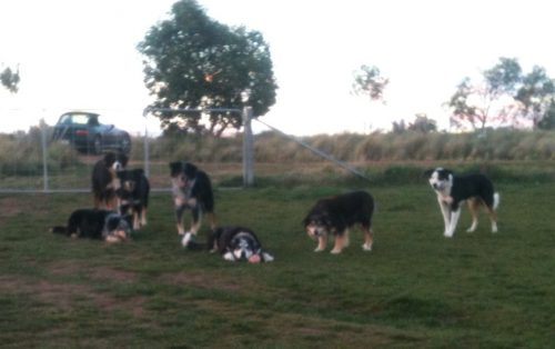 A slightly blurry family portrait (it was just about sunset yesterday, and taken with my phone). Centre front: Chance (with the kong) and Janie. Joker to Janie's left. On Chance's right, Pearl, lying down, then left to right standing: Flynn, Blaze and Jax. Pearl and Chance are focused on the kong–well really on me, willing me to throw it. Janie is focused on Chance, Joker on Janie, Jax on Pearl, Blaze on Pearl, Flynn on Blaze. So it's surprisingly easy to get them to line up for a family shot!