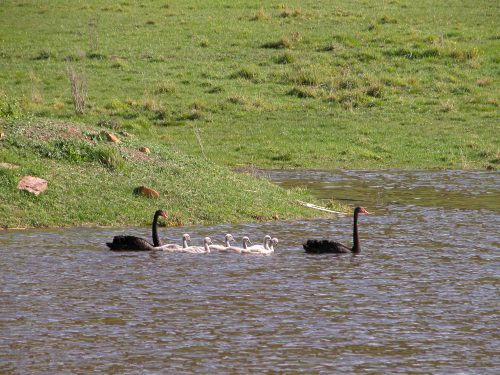 P4: Swan family photo, 16 September