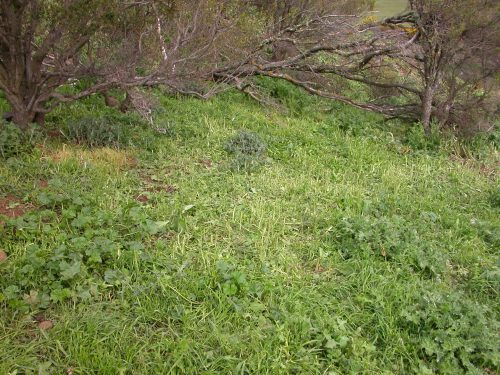 P1: The same hill as in the video, but looking uphill. They've cleaned up the Patterson's Curse down to the stalks, but left the geranium and thistles behind.