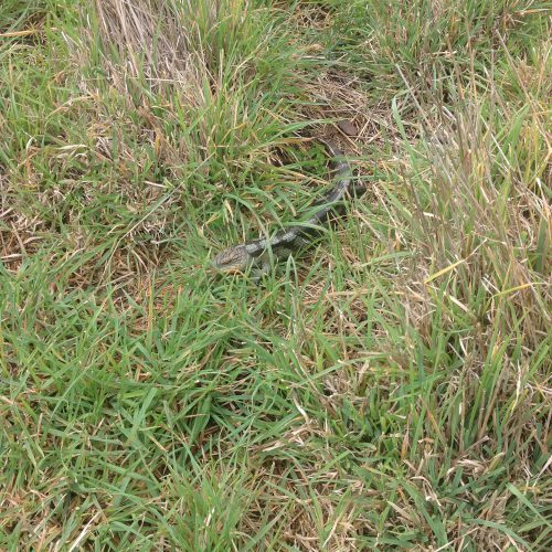 P4: A blue-tongue lizard (Tiliqua nigrolutea) hanging out in long grass. I nearly stepped on him because he's so well camouflaged.
