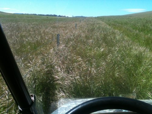 The view through my windscreen on the Polaris as I started out mowing the lucerne track this morning. You can only just see the tops of the fenceposts among the speargrass, making it about chest high on me. I haven't had the slasher out of the shed for two years!
