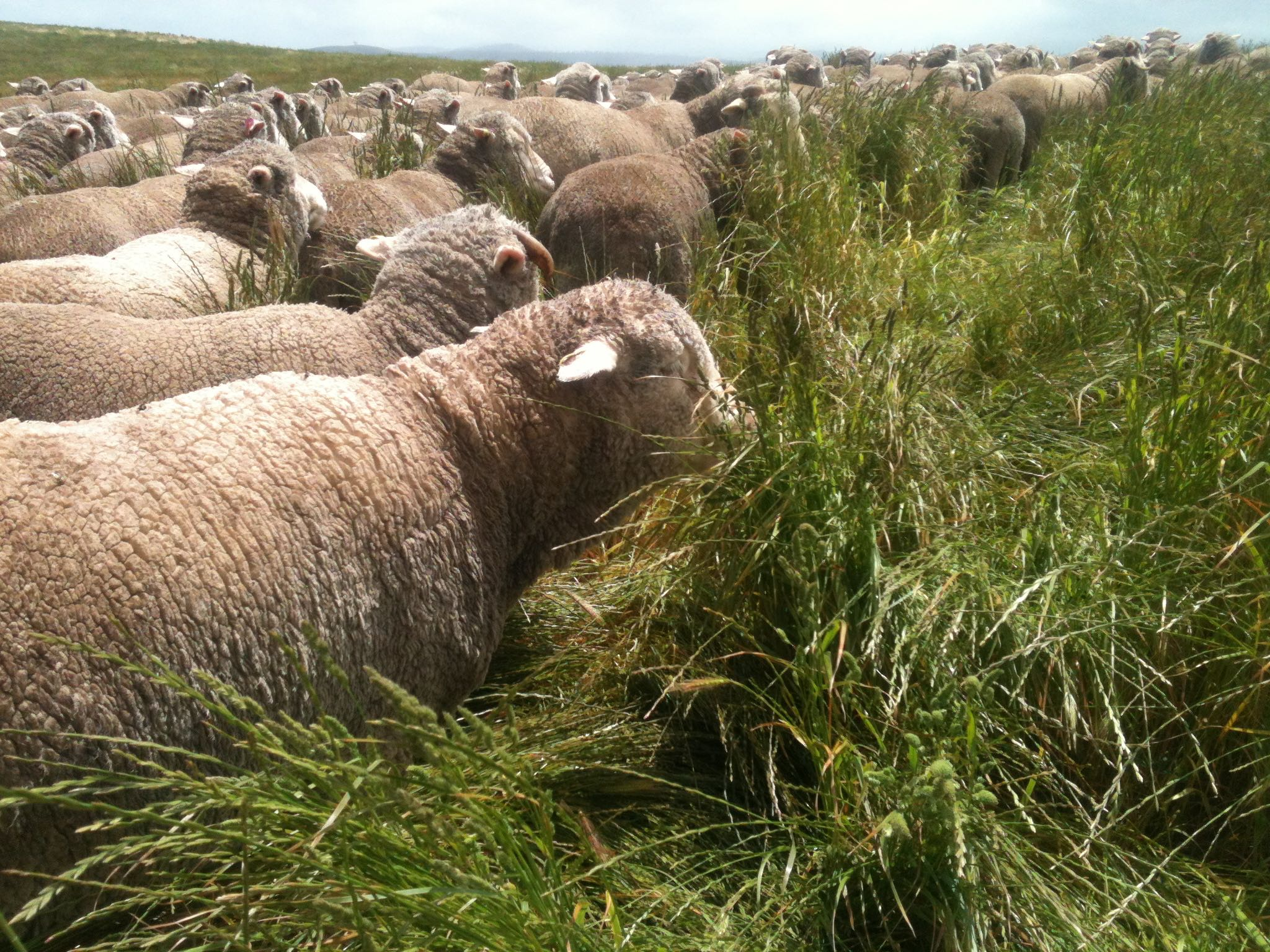 Grazing the long rye grass in one of the Racecourse Grazing Area paddocks. I think Clara is the sheep in the foreground.