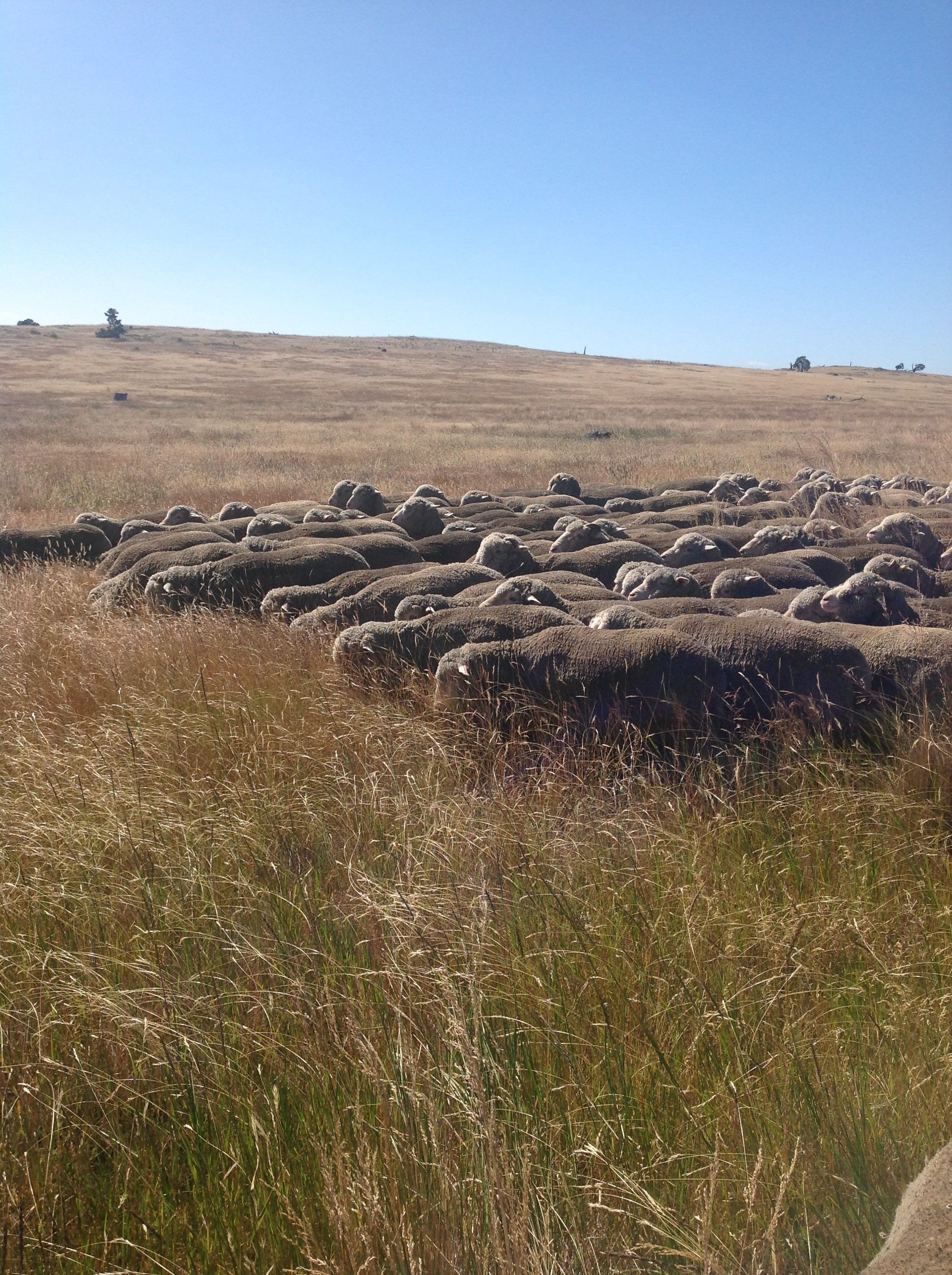 """This photo gives you an idea of the diversity of grasses this year. This was taken in a """"cocksfoot-dominated ryegrass"""" paddock, where normally I see just those two grasses, the occasional annual grass, dandelions and clover. Many of these grasses are ones I don't recognise."""