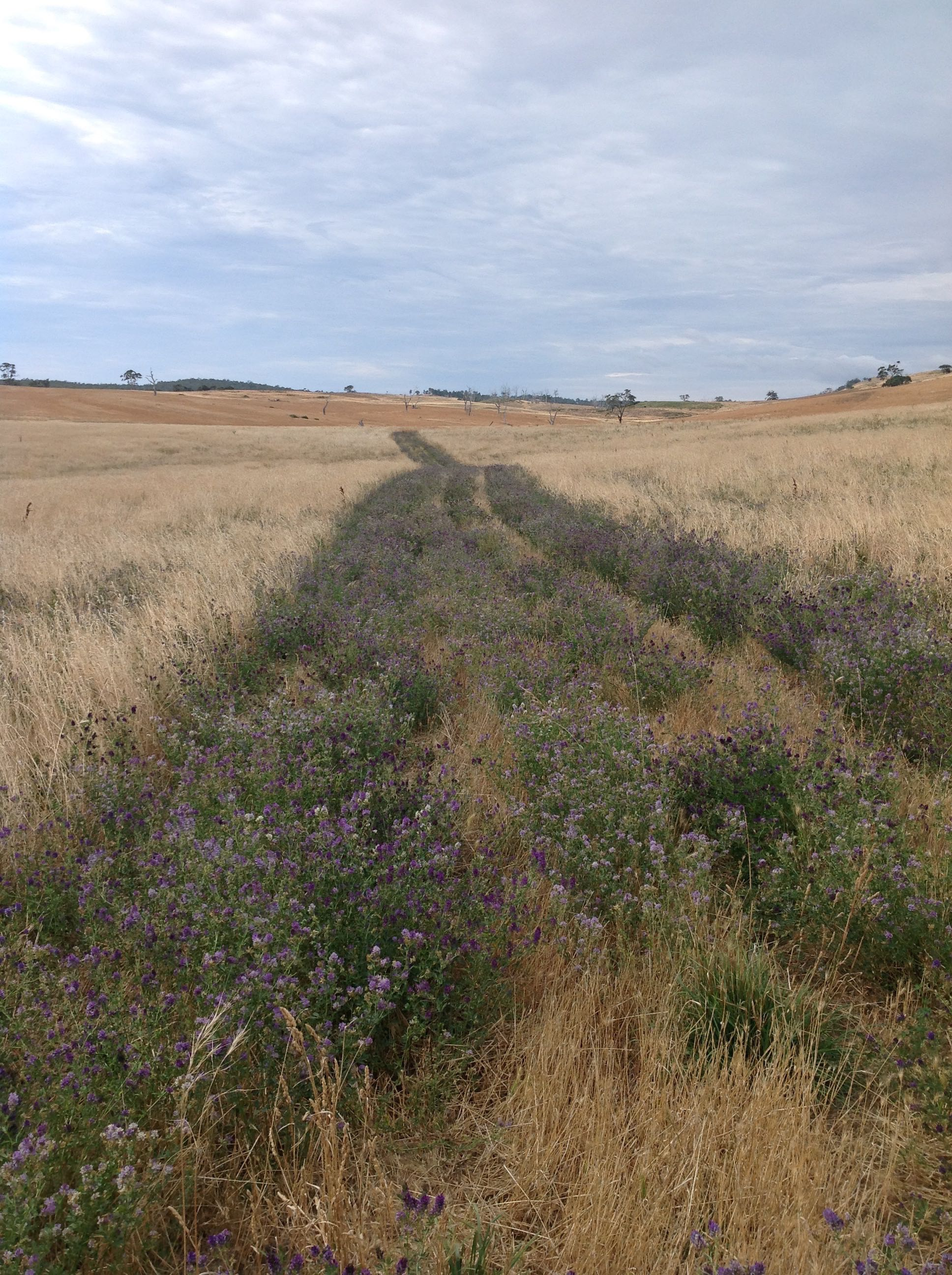 The track I mowed through the Lucerne Paddock earlier this summer.  The purple flowers are lucerne blossoms.  Dry speargrass with its sharp seed heads extends to either side.  That's Old Cabin in the background, with the reddish cocksfoot grass cover.