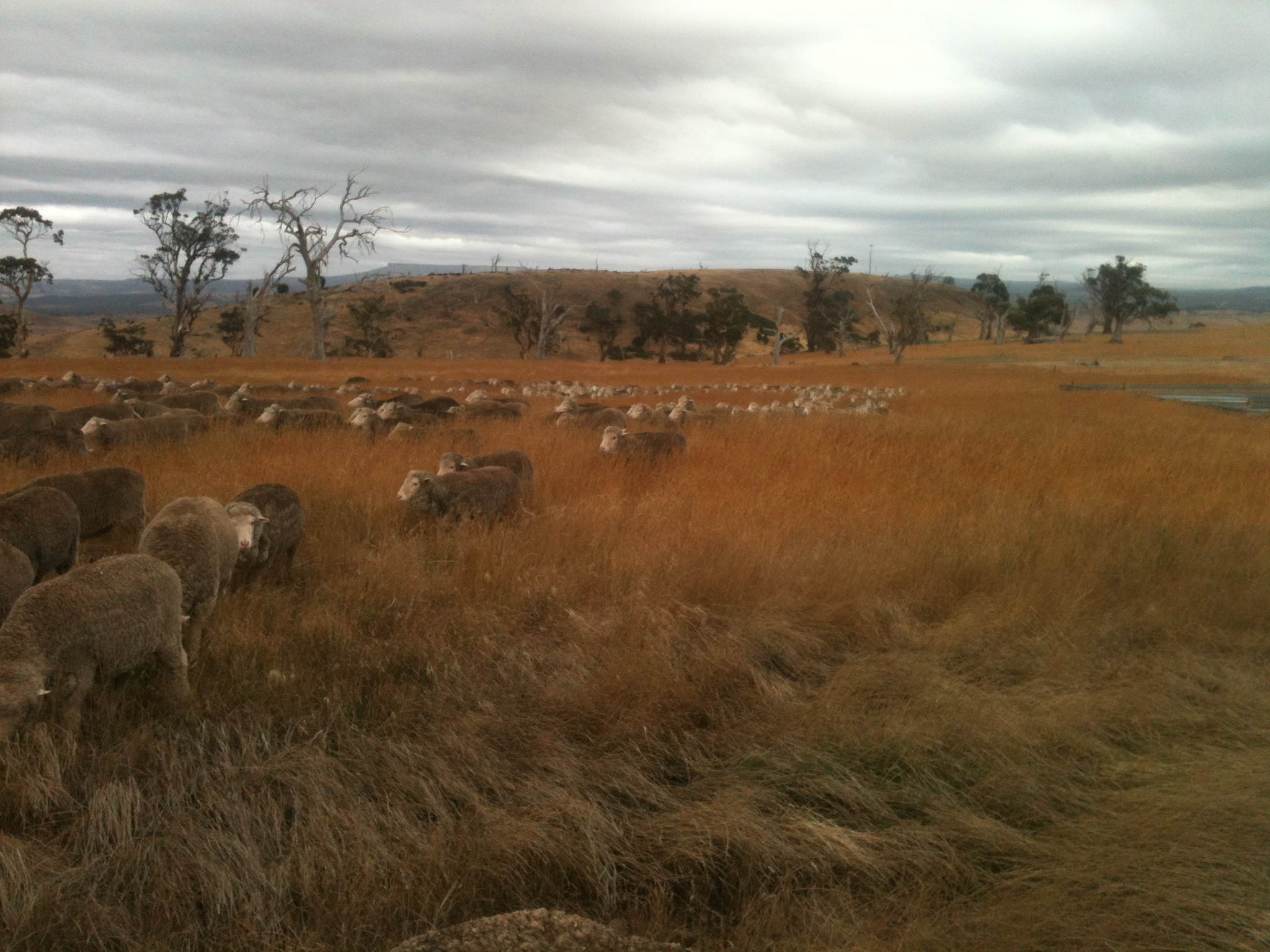 P1: Galloping into the lambing paddock--such excitement about this fresh forage!