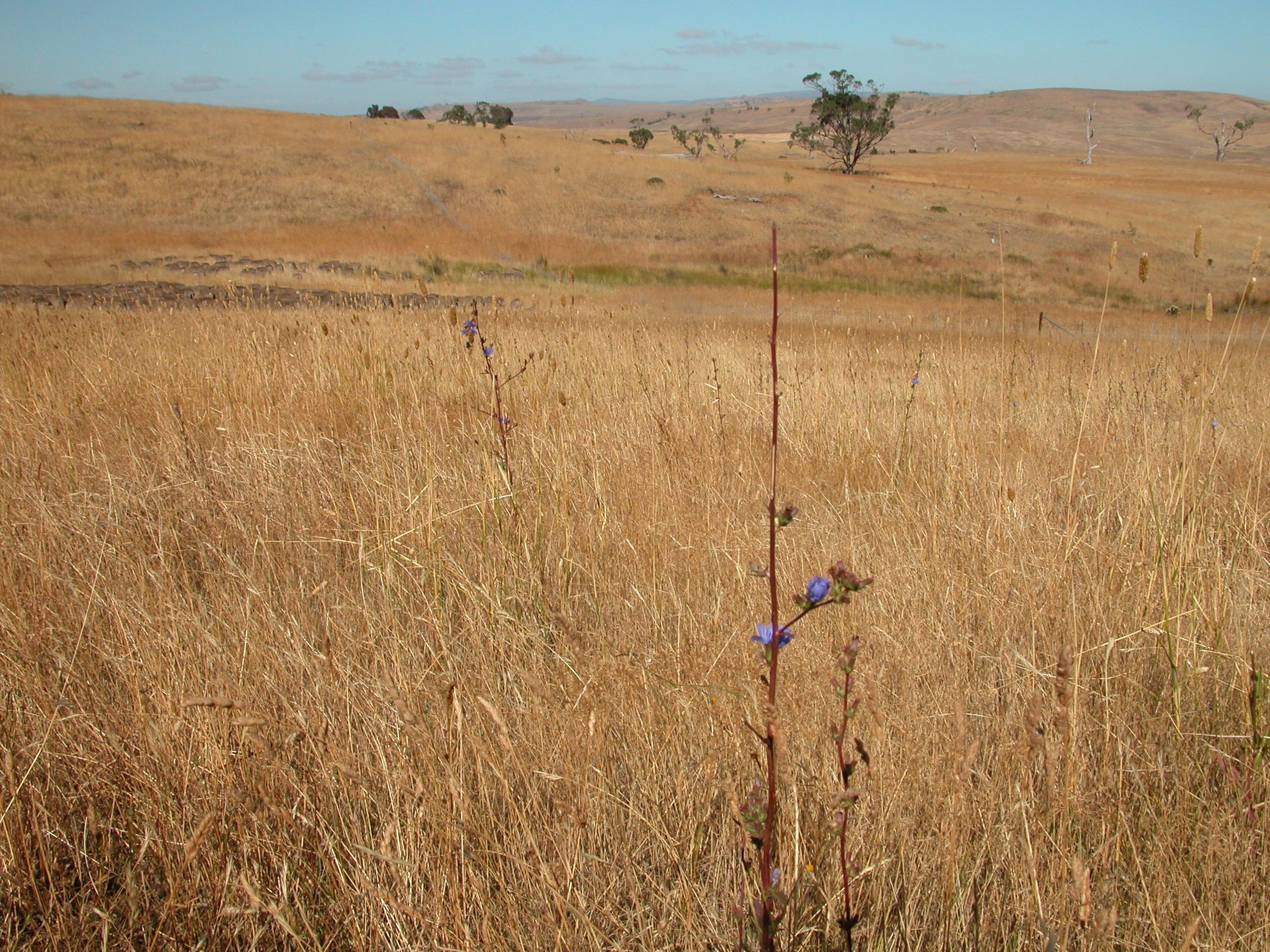 P2: I love the way the flock grazes and moves along--these two chicory plants attest to the light touch of grazing when there is plenty to go around.