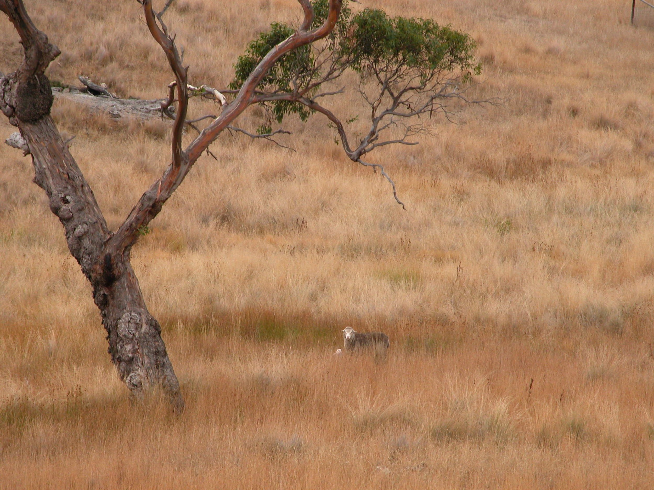 This ewe was tracking me from long telephoto range, in an arc of 180 degrees as I worked to get around her without disturbing her.