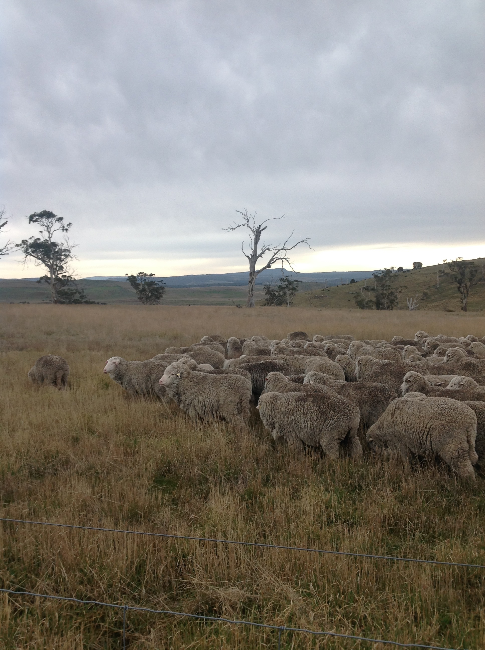 Heading out into the fresh grass of White Gum Wood. Delighted to be out of those blessed yards.