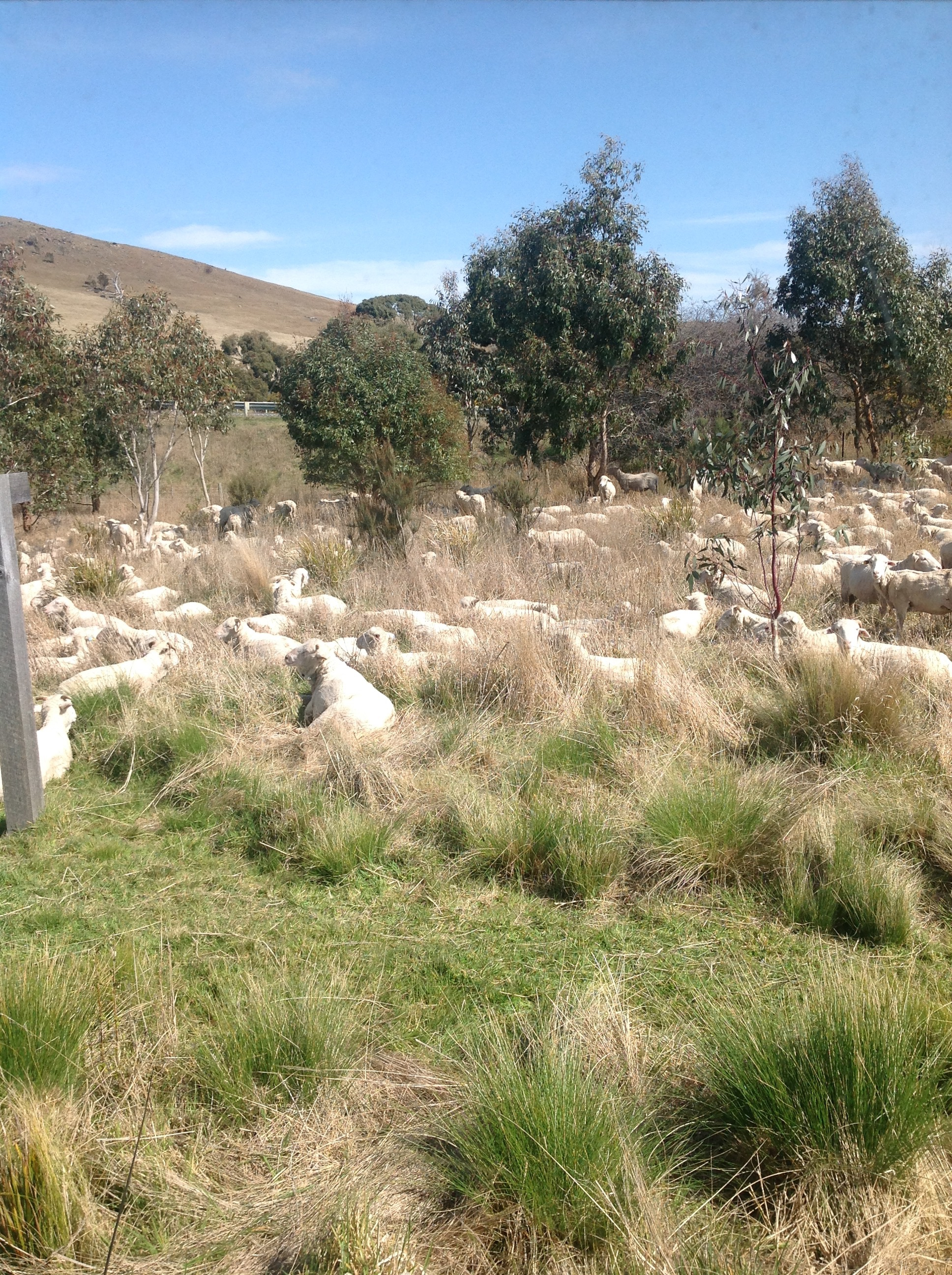 A week or so after shearing, the ewes enjoying sunshine and delectable browse  in the area outside my kitchen window.  I didn't shear the lambs--they don't have enough wool yet to make it worth the stress.