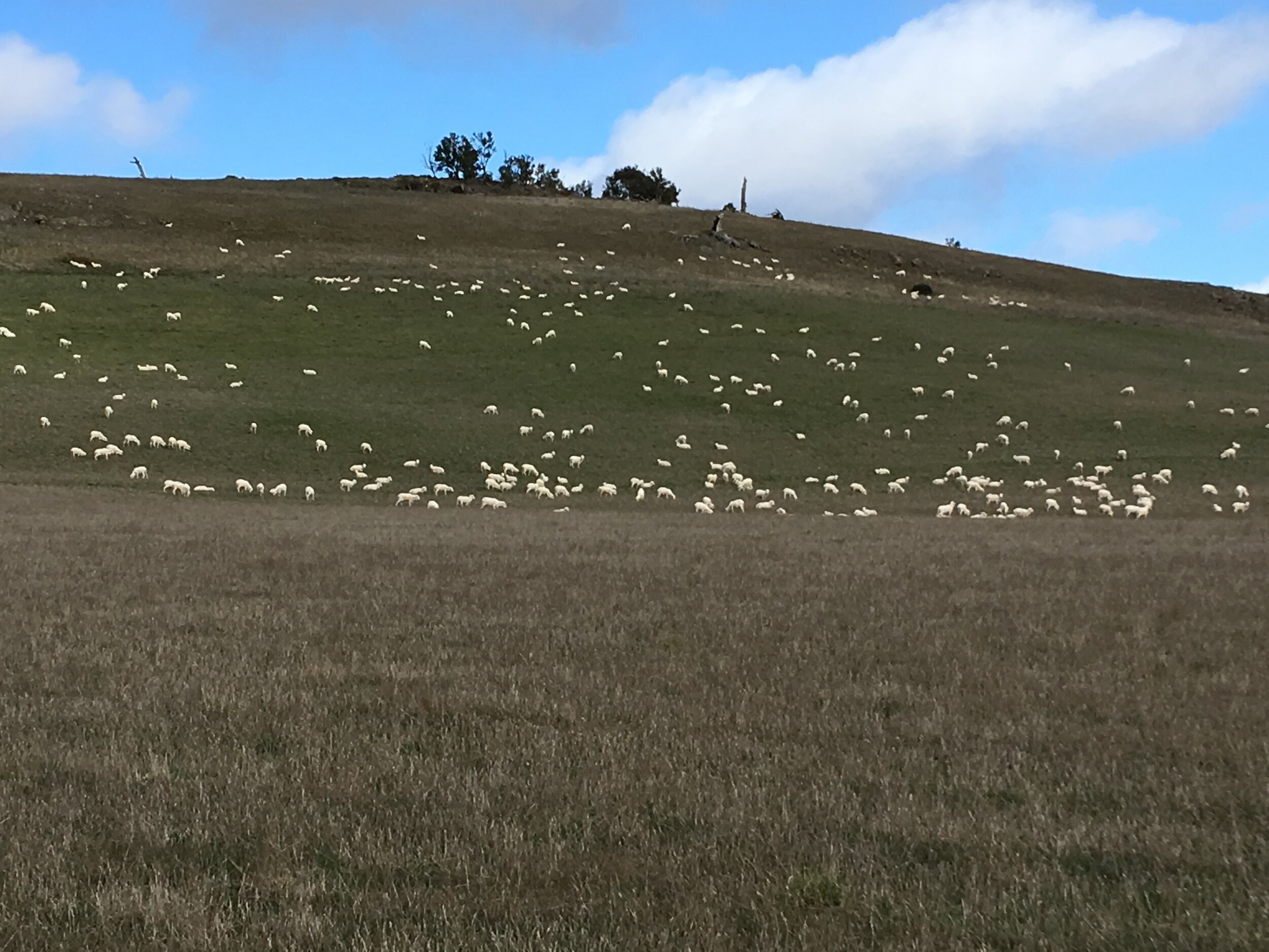 On the sheltered side of the hill in the lucerne (alfalfa) paddock, two days after shearing.